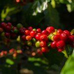 coffeeberries